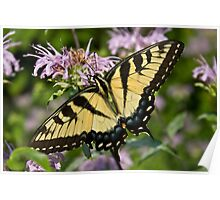 Eastern Tiger Swallowtail Poster