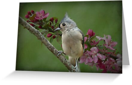 Tufted Titmouse  by Bonnie T.  Barry