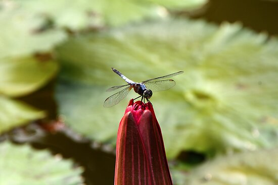 Dragonfly on lotus bud by Philip Alexander
