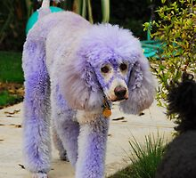 Purple Poodle by laurafay