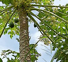 Bermuda Pawpaw tree by triciamary