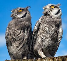 Was that a Pterodactyl just flew over? (White-Faced Scops Owls) by Krys Bailey