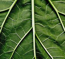 Rhubarb leaf by Ilva Beretta