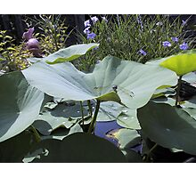 Lotus and Dragonfly Photographic Print