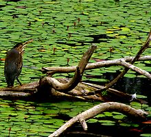 Young Green Heron spies a Dragonfly  Series #1 by Chuck Gardner
