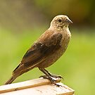 Female Cowbird In Waiting by Trudy Wilkerson