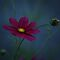 COSMOS AT DAWN by Lori Deiter