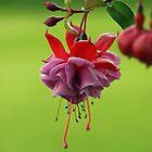 Fuchsia by Stan Wojtaszek