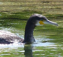 Great Cormorant (Phalacrocorax carbo) by DutchLumix