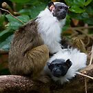 Pied Tamarin by Michael Hadfield