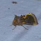 Burnished Brass Moth by Sharon Perrett