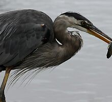 Great Blue Heron With Fish by Wolf Read