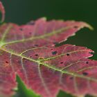 Red Leaf by mona1nyc