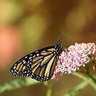 Monarch Delight... by Gregg Williams