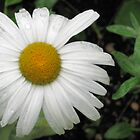 Raindrops on Daisy by Jenn Shiels