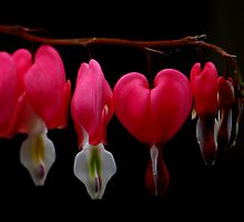 Bleeding Heart by photoloi