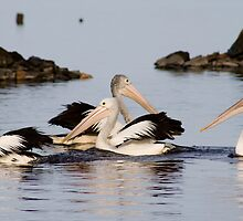 Pelicans at Broke Inlet by pennyswork