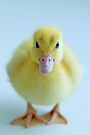 Duckling by Renee Hubbard Fine Art Photography