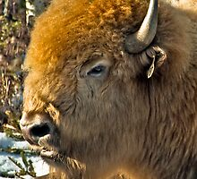 White Buffalo by Kerri Gallagher