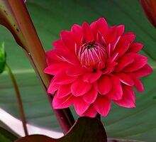 red dahlia among leaves by 1busymom