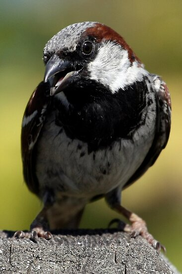 House Sparrow Up Close by Wolf Read