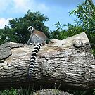 Ring-tailed Lemur by ienemien