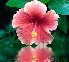 Hibiscus by Sheryl Kasper