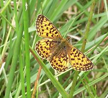 Pearl Bordered Fritillary by winterhare