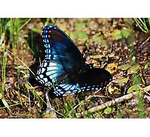 Brush-footed Butterfly Photographic Print