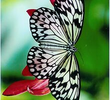 Paper Kite Butterfly by katysings2
