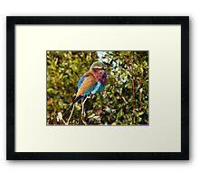 Winter Fluff - Lilac Breaster Roller, Okavango Delta Framed Print