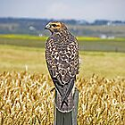Hawk Overlooking The Crops by Judy Grant