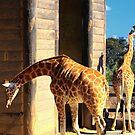 Giraffe's view - Sydney CBD and Opera House  by TheSpaniard