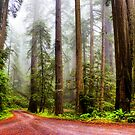 Giant Redwoods in the Mist, California, USA by photosecosse /barbara jones