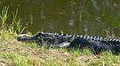 Alligator in grass by Larry  Grayam