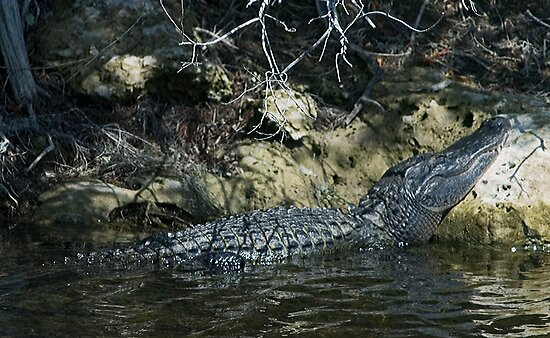 Alligator resting head by Larry  Grayam