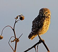 0718092 Burrowing Owl by Marvin Collins