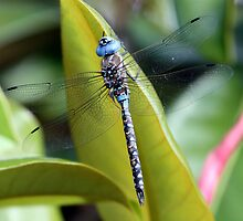 Azure Arrow: Blue-Eyed Darner on a Magnolia Leaf by Wolf Read