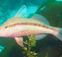 Goatfish by Hilly