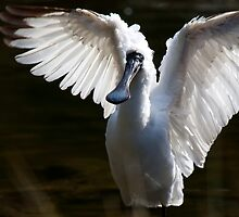 Royal Spoonbill by margotk