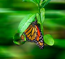 Monarch Reflections by AngelPhotozzz