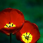 tulips 2 by JulieSaunders
