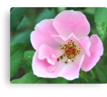 Pink Knockout Rose Canvas Print