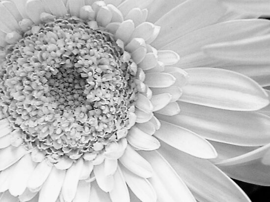 Pure Daisy by Ann Warrenton