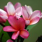 Fresh Pink Frangpani buds and flowers by LividPhoto