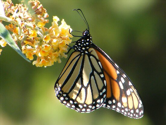 Monarch by Dave & Trena Puckett