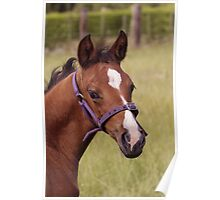 Portrait of a Playful Young Foal  Poster