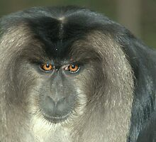 Lion-tailed Macaque XII by Tom Newman