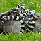 Lemurs by Julie McBrien