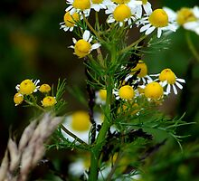 Camomile by TriciaDanby
